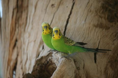 Breeding Budgies"