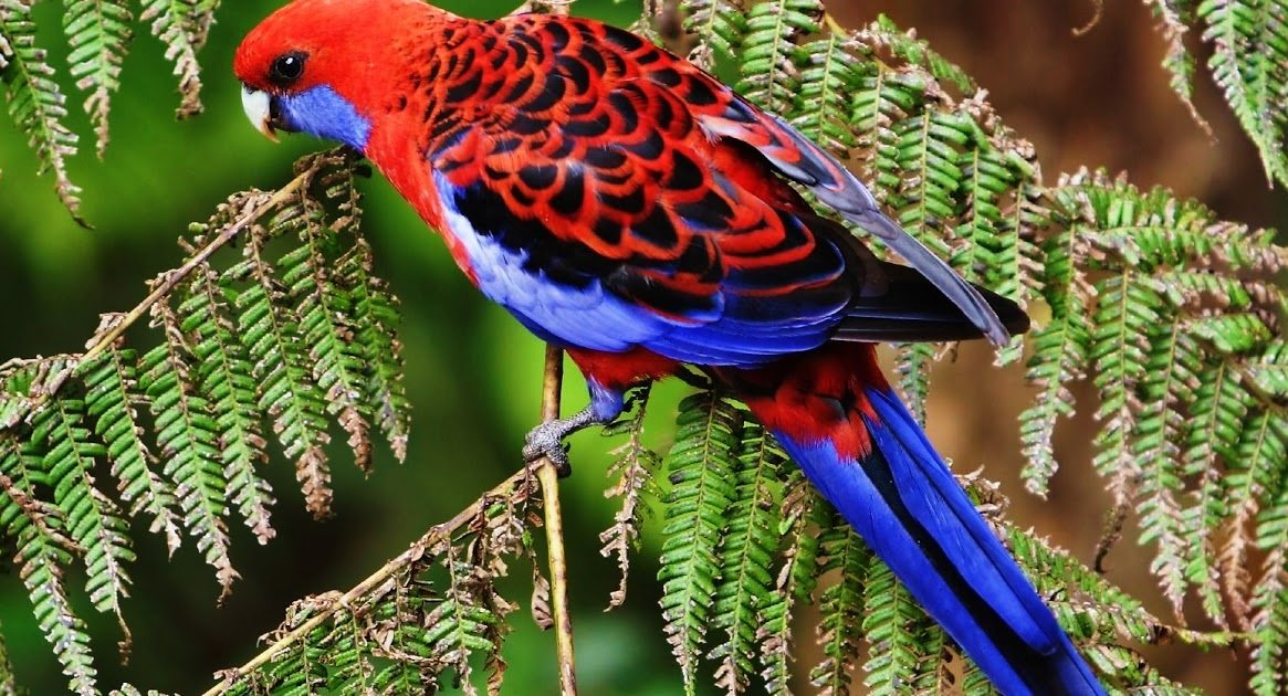 The Crimson Rosella